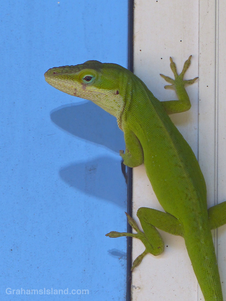 10-20-13-Green-anole-on-a-window-frame-VW