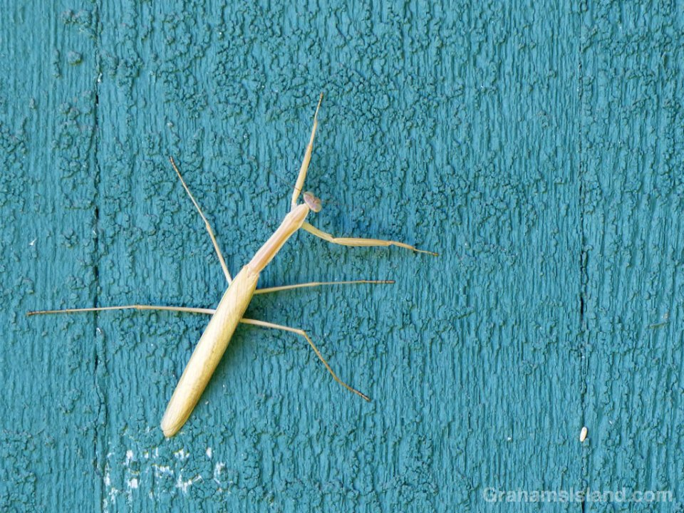 10-24-15-Praying-Mantis-HW