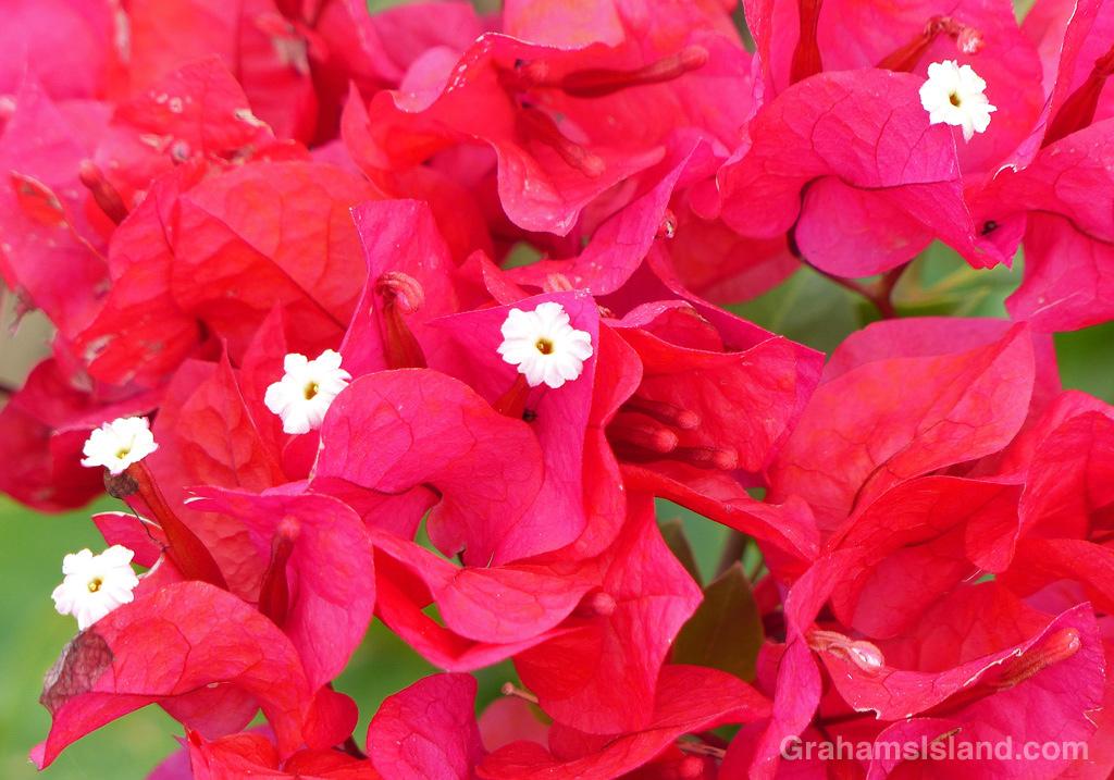 11-13-15-Bougainvillea-spectabilis-HW