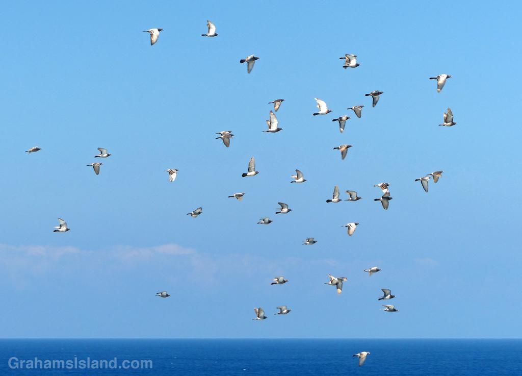 Rock pigeons in flight