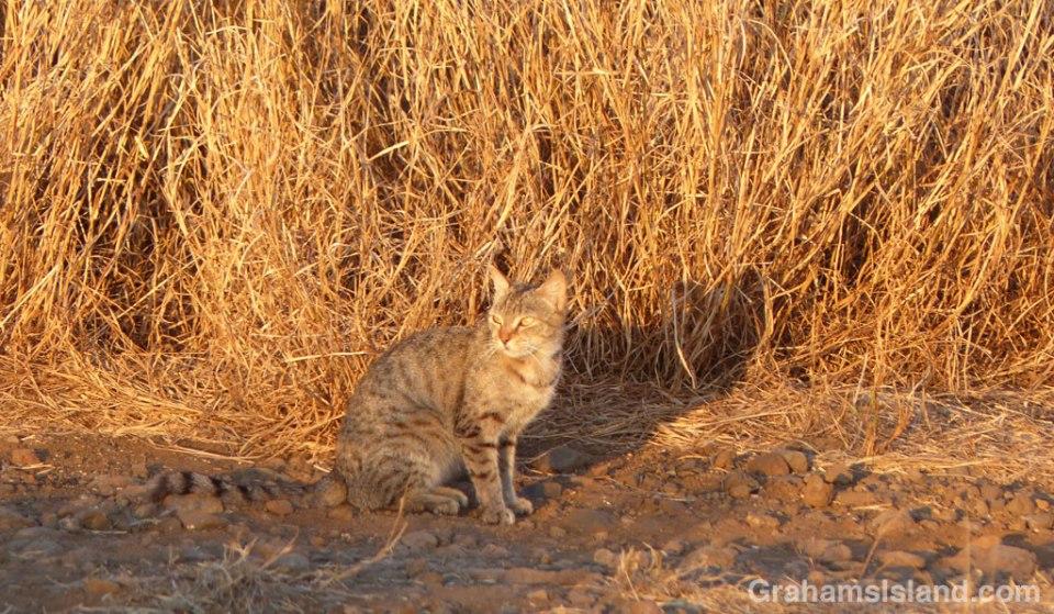 Feral Cat Mahukona