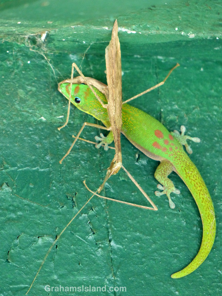 Gold Dust Day Gecko and Stick Insent