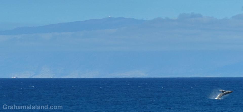 Humpback whale off Maui