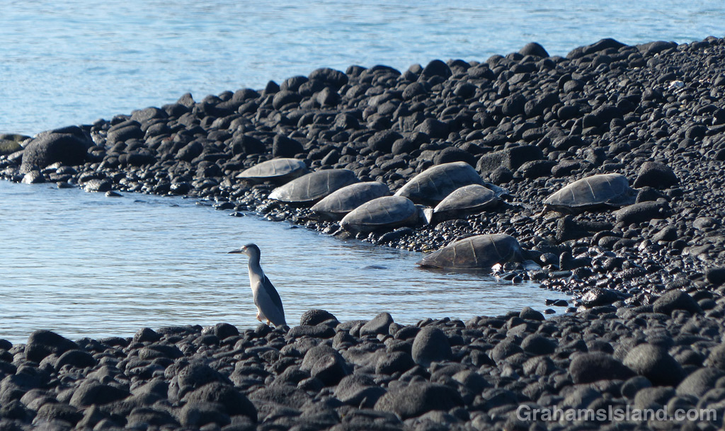 A heron stands watch while green sea turtles rest on shore at Kiholo Bay,