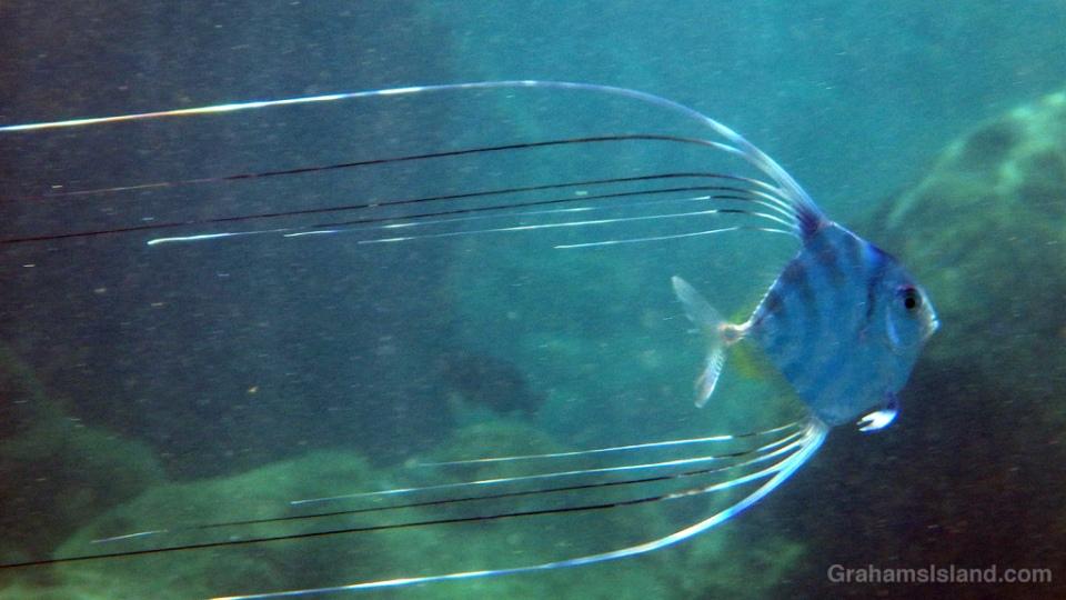 Juvenile Threadfin Jack