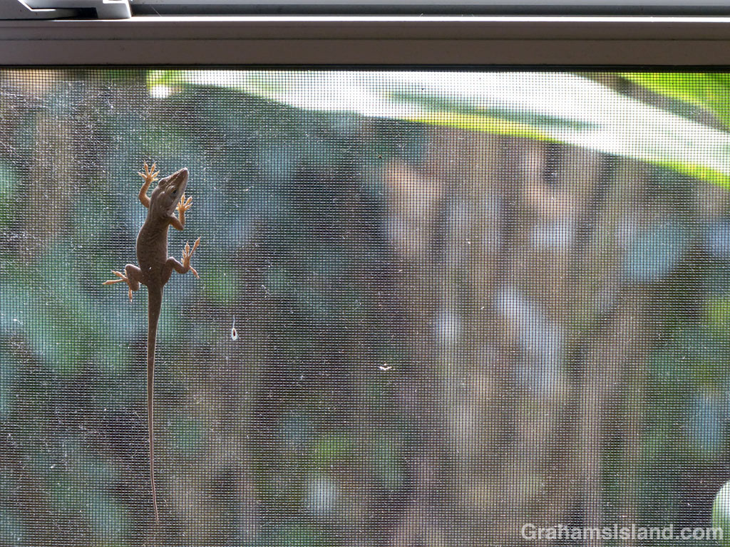 Green Anole in a window
