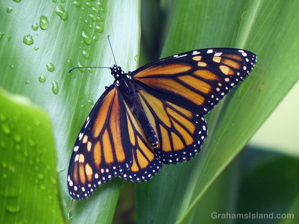 Hawaiian Monarch Butterfly