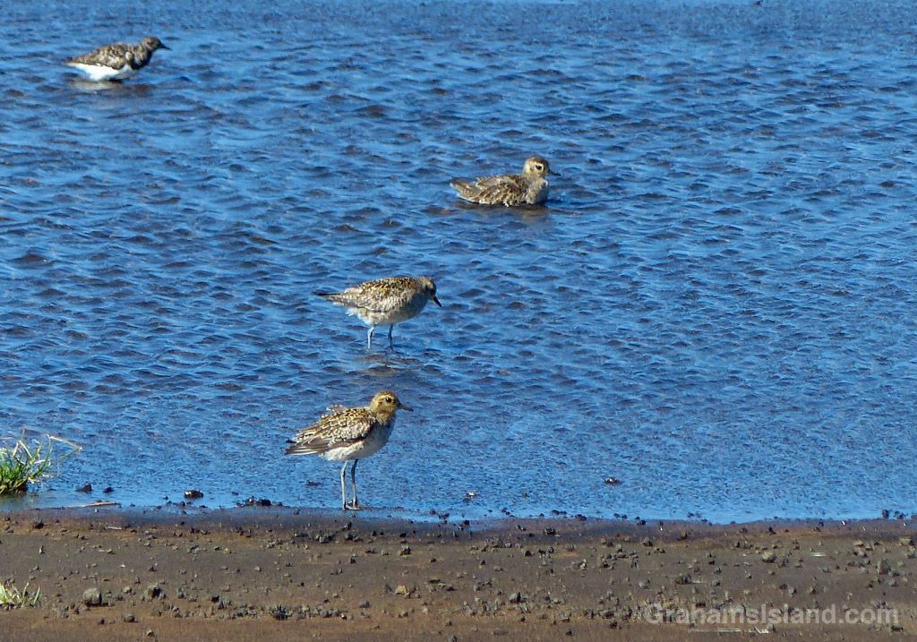 Plovers on a pond | Graham's Island