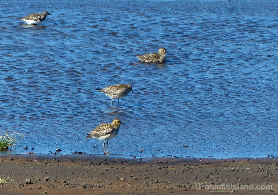 12-28-15-Pacific-Golden-Plover-HW