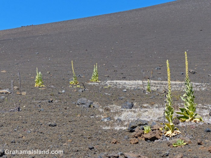 Mauna Kea silverswords grow in the otherwise barren cinder landscape.