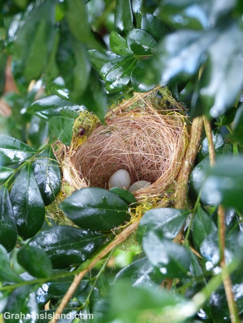 Japanese white-eye nest and eggs