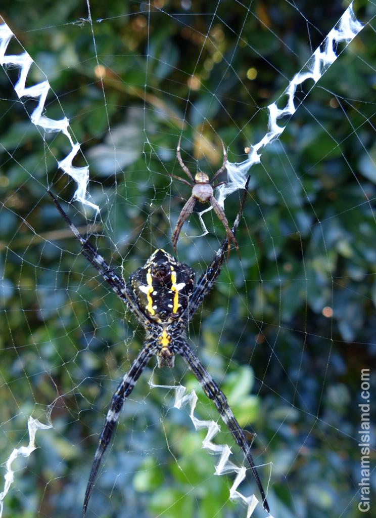 Hawaiian Garden Spiders