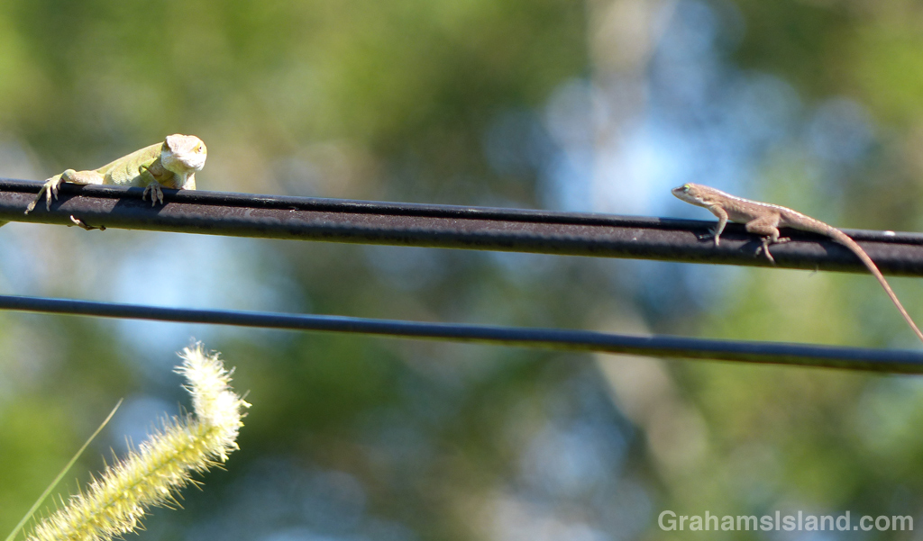 Anoles on Wire