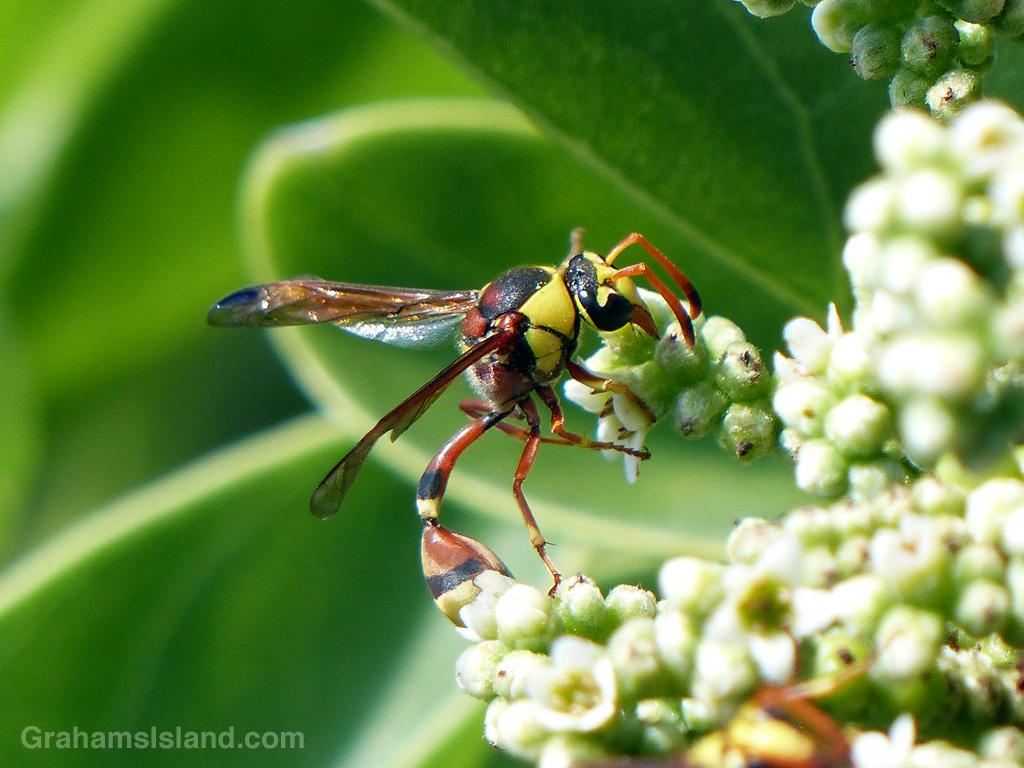 Potter Wasp Eumenes Bollii