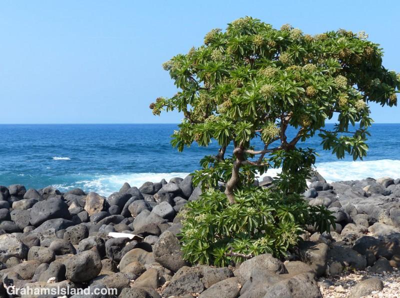 Tree Heliotrope