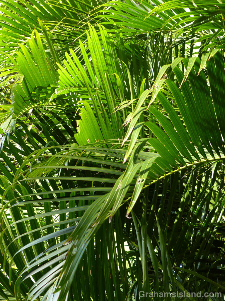 The fronds of an Areca palm.