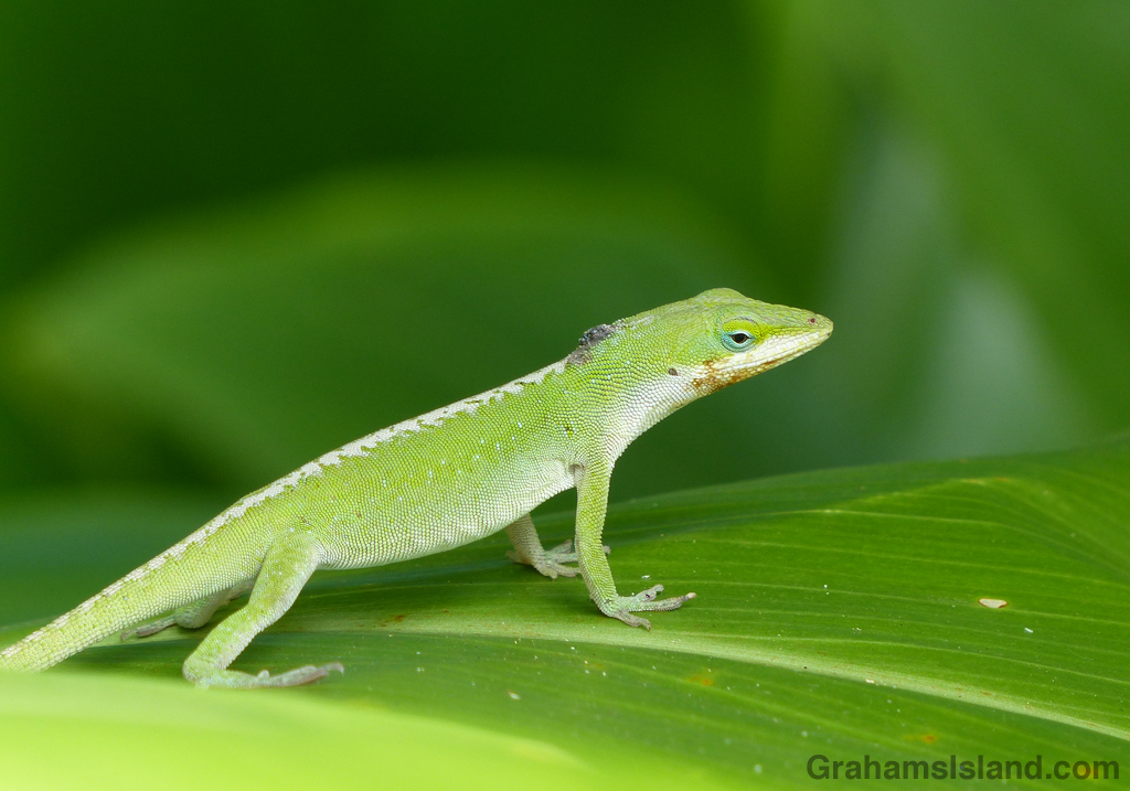 Female anole after mating
