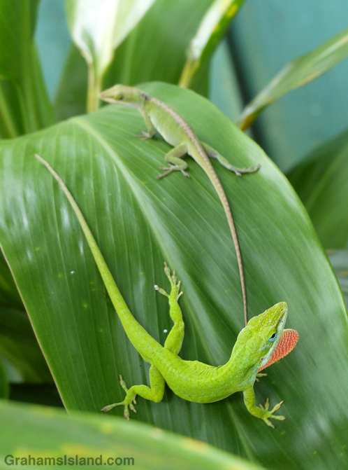 Green anoles mating interrupted