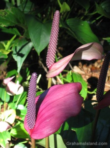 Purple anthurium