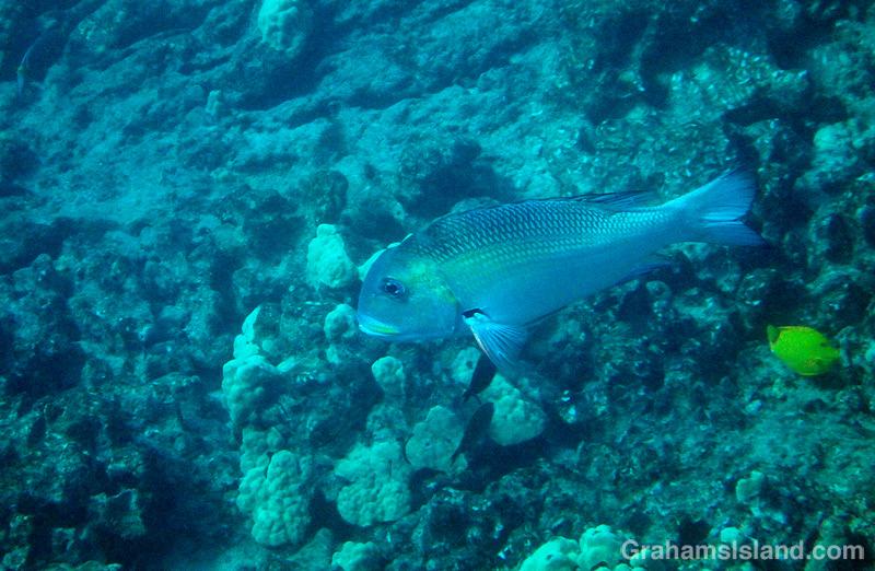 Big Eye Emperor fish