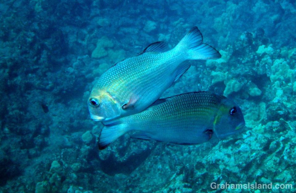 A pair of Big Eye Emperor fish