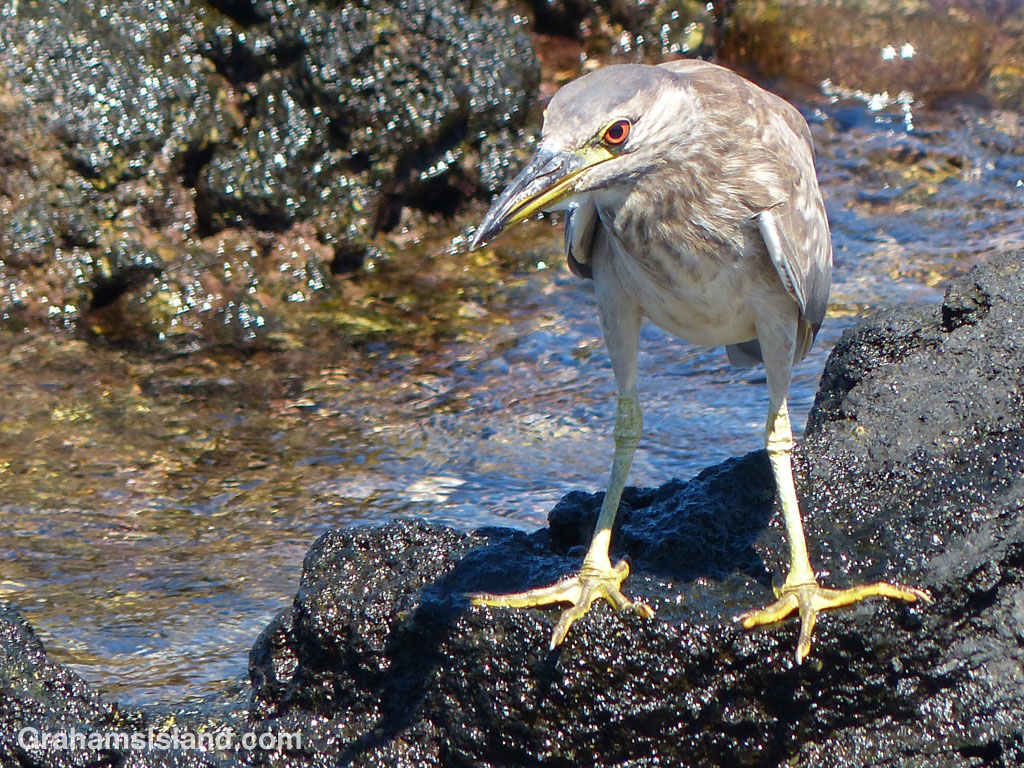 A young Black-crowned Night Heron