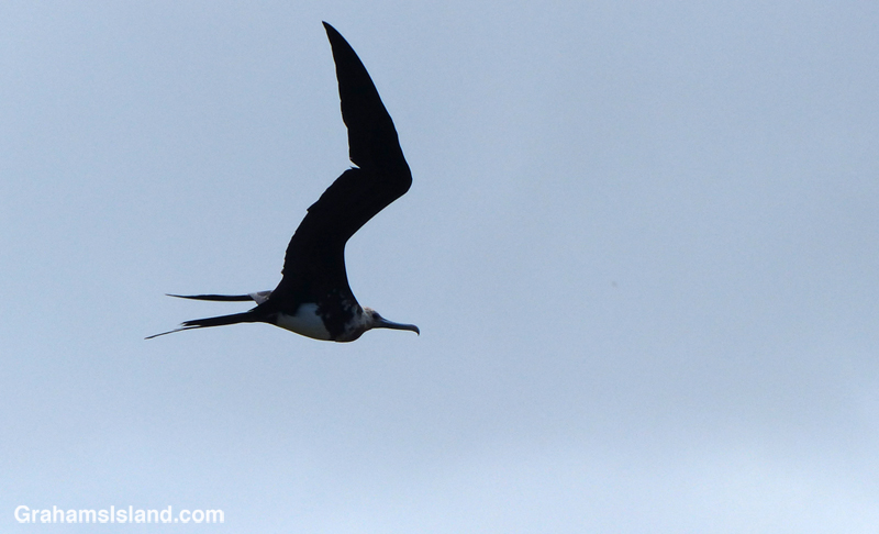 A great frigatebird on the wing