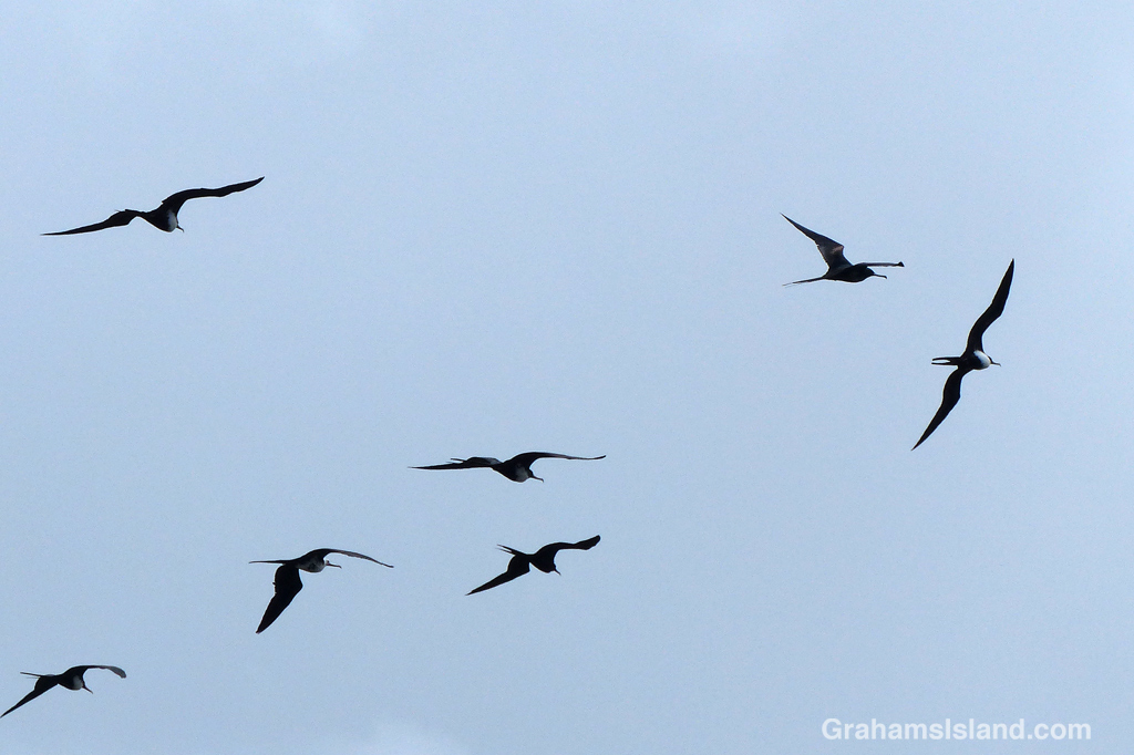Great frigatebirds on the wing