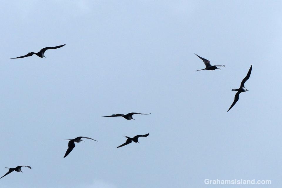 Great frigatebirds on the wing