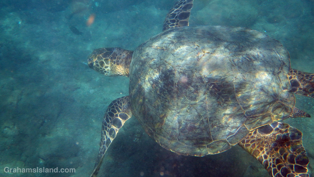 A green turtle passes close by.
