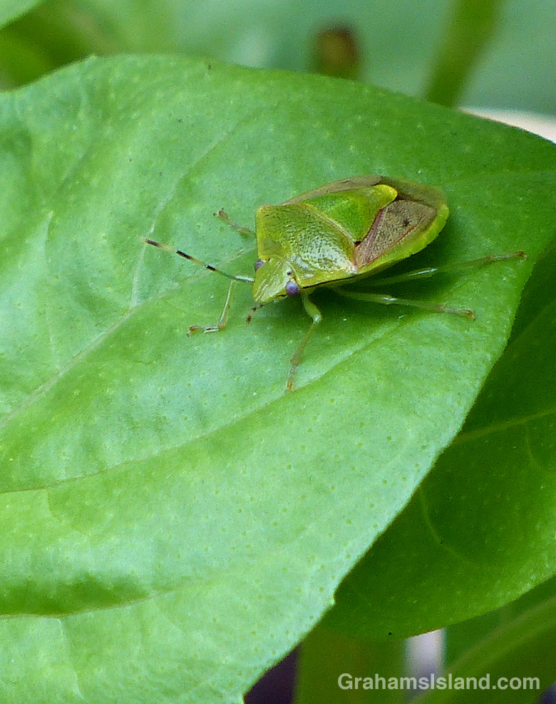 An oriental stink bug on a basil leaf.