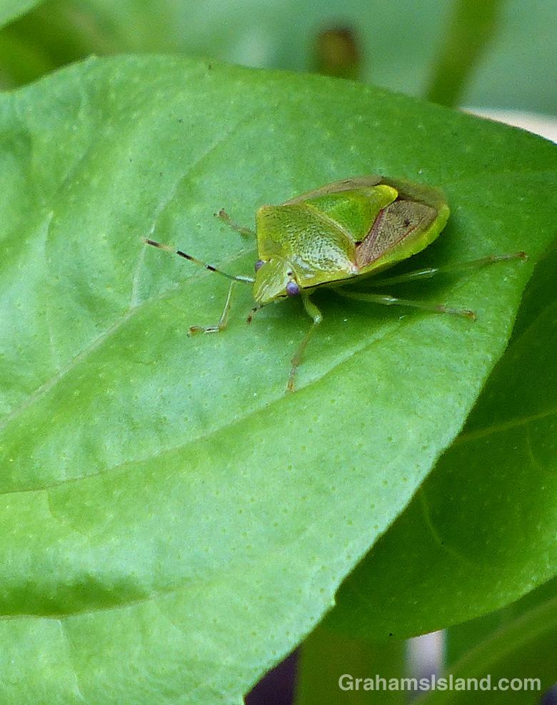 An oriental stink bug on a basil leaf.