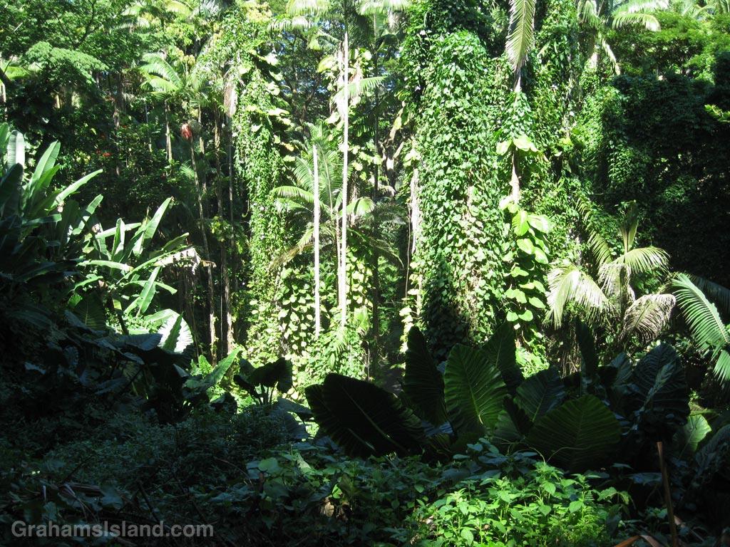 Lush foliage on the east side of the Big Island, Hawaii.
