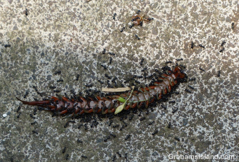 Ants swarm around a dead centipede