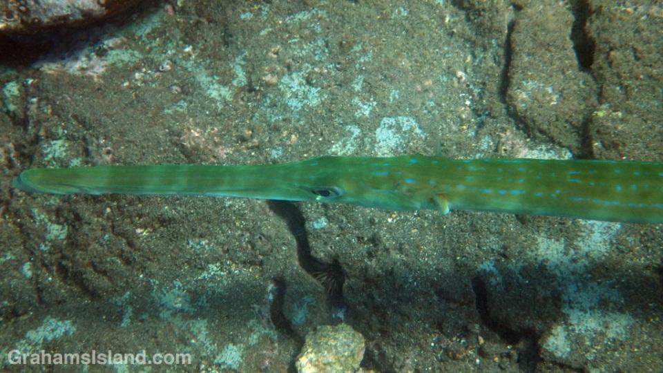 A bluespotted cornetfish
