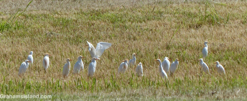 Cattle egrets in a field