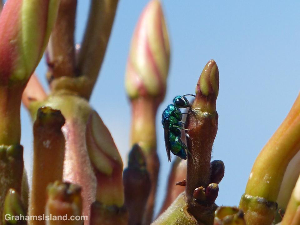 Cuckoo wasp on a frangipani.