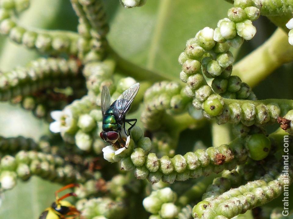 A green bottle fly on a tree heliotrope
