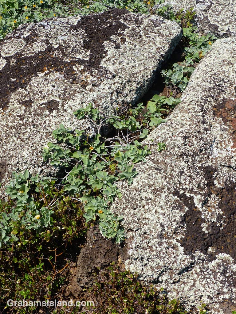'Ilima papa growing as between lichen covered rocks