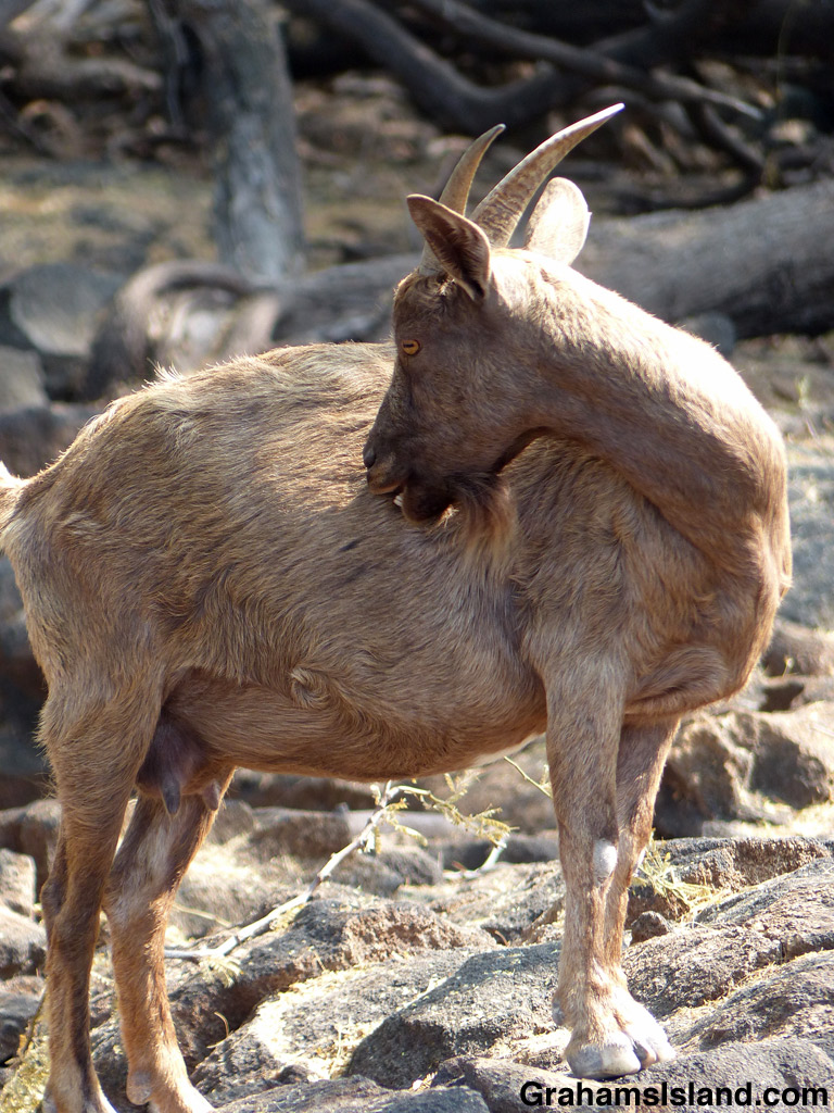 A wild goat tends to an itch at Kiholo Bay