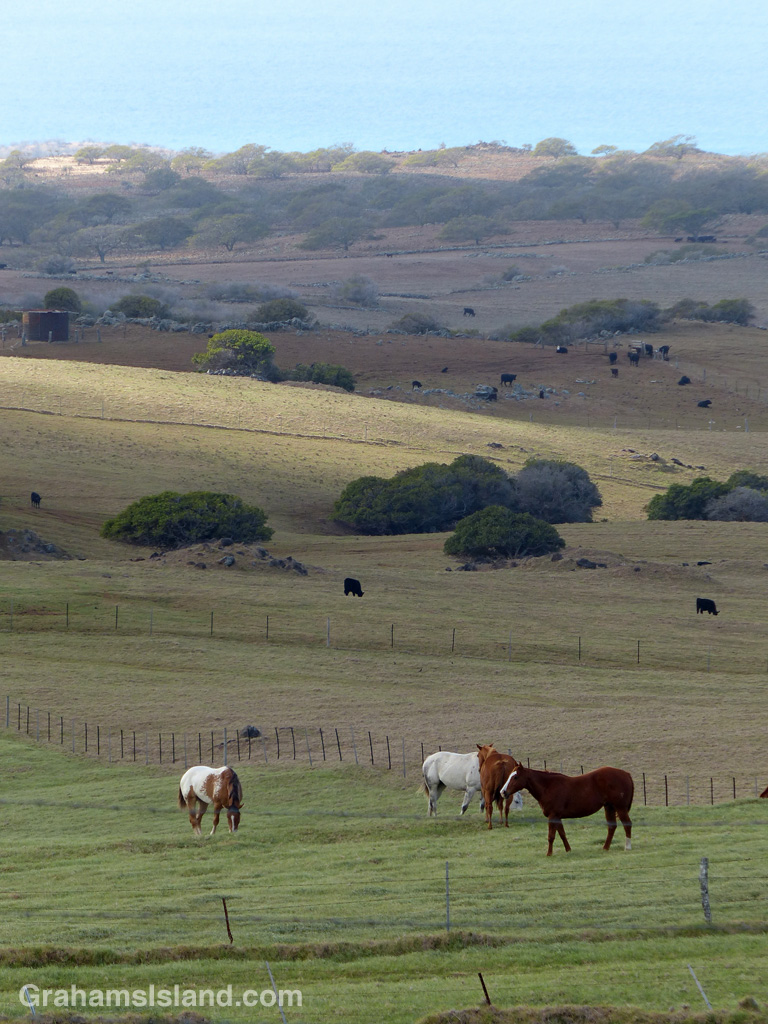Horses and cattle in North Kohala