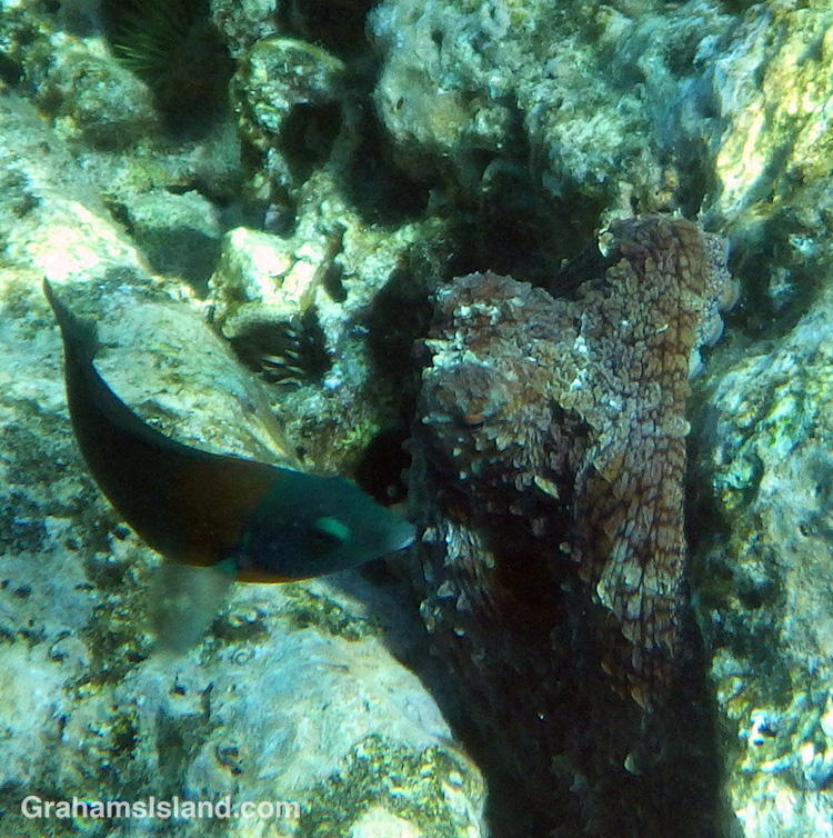 A day octopus and saddle wrasse