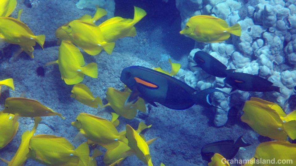 Orangeband Surgeonfish swim in a shoal of Yellow Tang