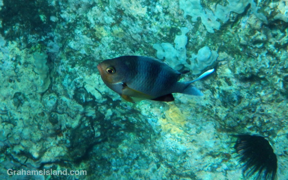 A male oval chromis fish in spawning colors