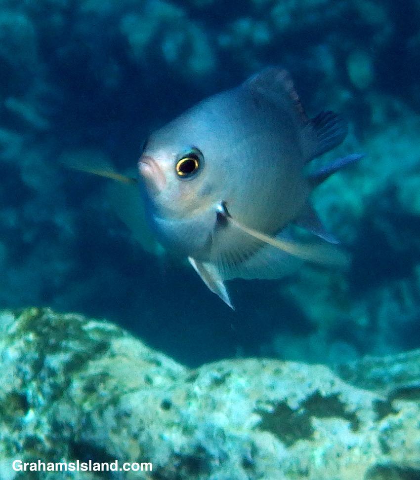 Oval chromis fish