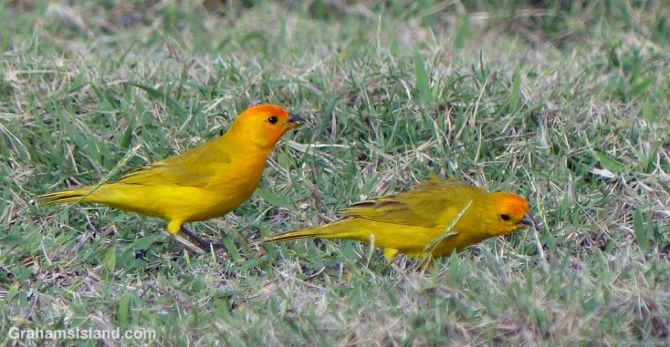 Saffron finches in a meadow.