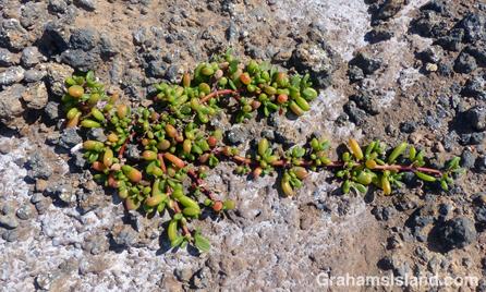Sea Purslane growing in a rocky coastal area