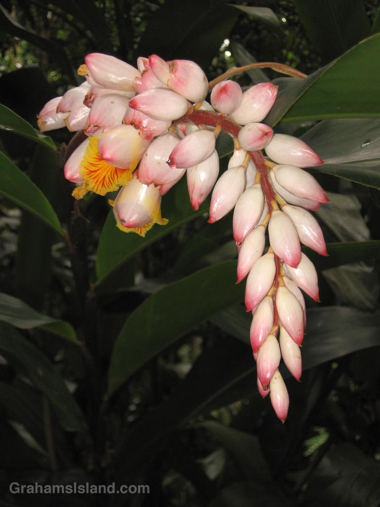 Shell ginger flower