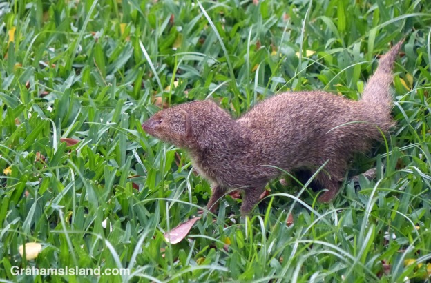 A small Asian mongoose