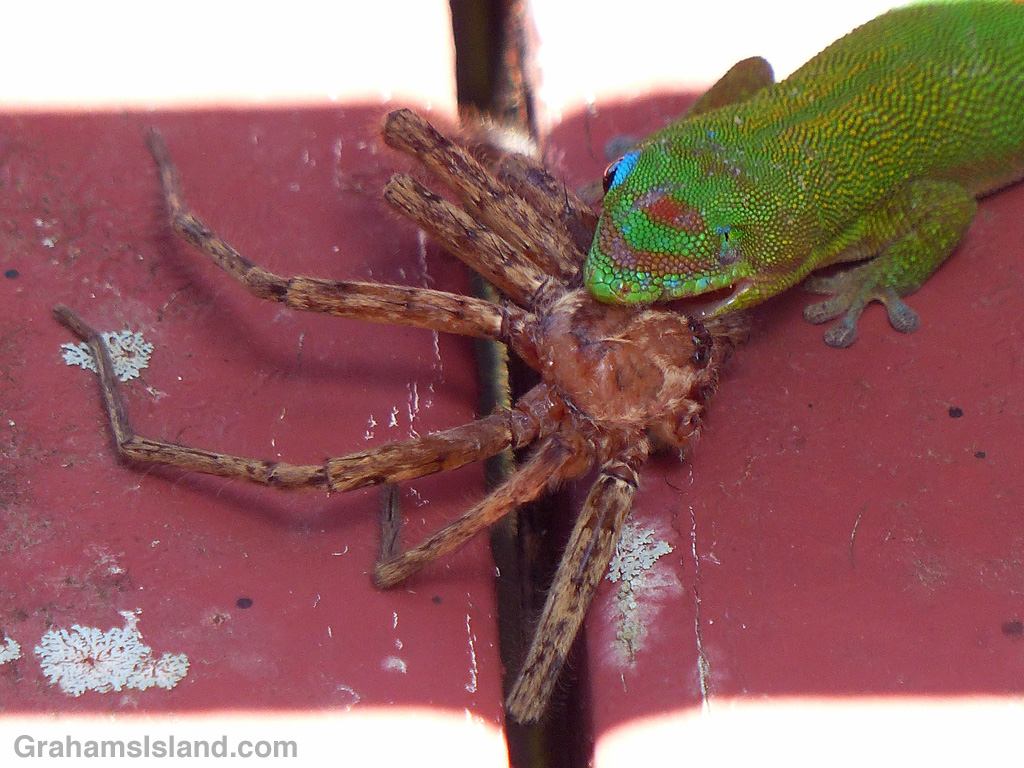 Gold dust day gecko captures a cane spider